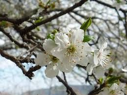 Fiore di Bach CHERRY PLUM